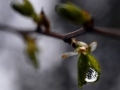 A water droplet from Saturday's rain clings to the newly-emerging leaves of a tree in south Abilene March 21, 2020.