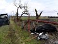 A bull lies near a fence after being killed in Thursday's early morning tornado March 19, 2020. Randall Franke said he discovered the bull and a deceased cow when he checked his property along FM 1082.