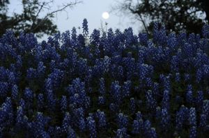 Bluebonnet Moonrise